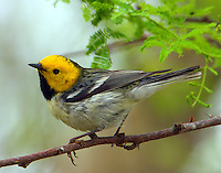 Adult male hermit warbler