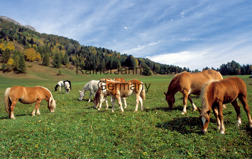 Italy, Trentino, Bellamonte near Predazzo: Haflinger horses on the paddock