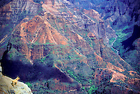 Feral goat on rim of Waimea Canyon, as seen from Waimea Canyon Drive; in Waimea Canyon State Park, Koaie Valley on right.