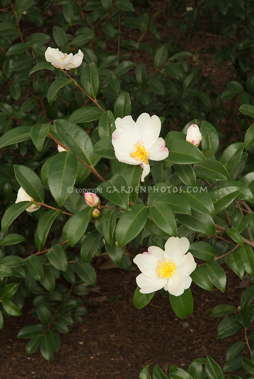 Camellia 'Survivor', fall blooming shrub