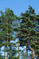 Wald-Kiefer, Waldkiefer, Gemeine Kiefer, Föhre, Kiefernwald, Pinus sylvestris, Scots Pine