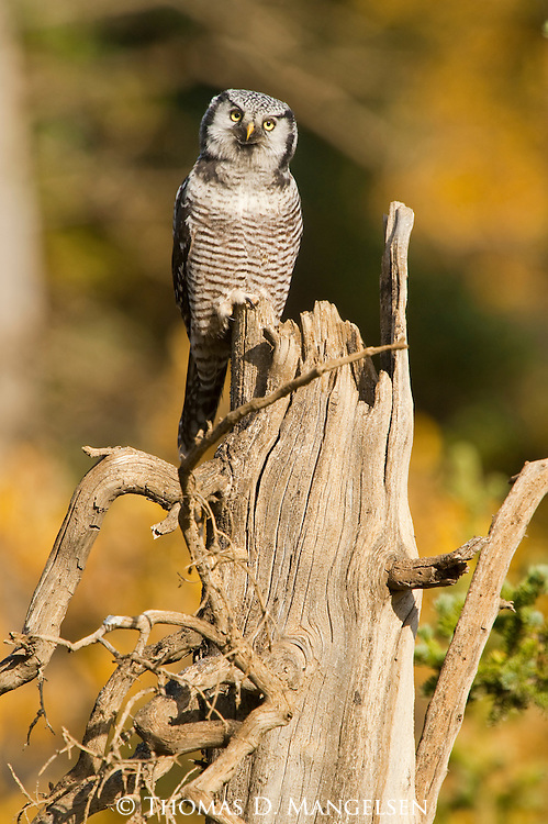 A northern Hawk-owl perches on a dead tree in Denali National Park, Alaska.
