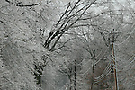HARWINTON, CT - 7 January, 2009 -  010709MO02 -  Ice accumulated on trees lining County Line Road in Harwinton Wednesday afternoon. Power crews were bracing for a long night, with winds expected to pick up and cause futher damage to laden trees and limbs. Jim Moore Republican-American.