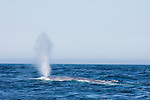 Blue Whale (Balaenoptera musculus) spouting, Monterey Bay, California