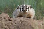 American badger, (Taxidea taxus), summer, July, morning, Rocky Mountain National Park, Colorado, USA, wildlife, mammal, carnivore