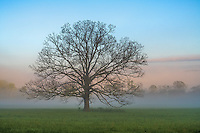 Great Smoky Mountains National Park, Tennessee:<br /> Morning sun and clearing fog with single oak tree in Cades Cove, early spring