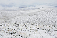 Fresh snow covers typical sagebrush habitat of the Gunnsion Sage-Grouse. Gunnison County, Colorado. April.