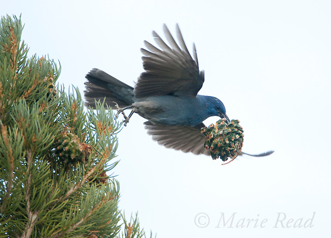Pinyon jay (Gymnorhinus cyanocephalus), carrying off an entire cone while gathering Pinyon Pine seeds, Mono Lake Basin, California, USA