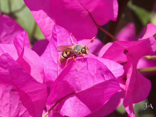 Wasp searching for pollen on purple Bouganvillia flowers.