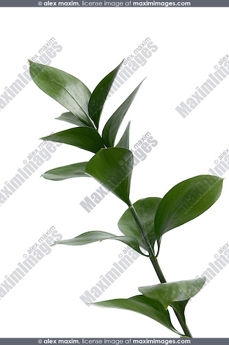 Stem with green leaves isolated on white background