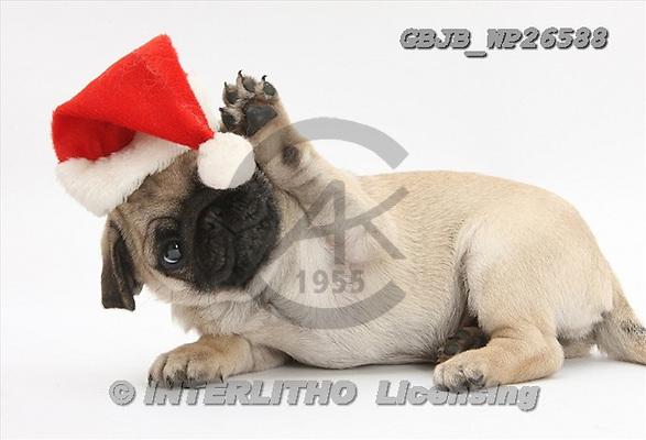 Kim, CHRISTMAS ANIMALS, photos, GBJBWP26588,#xa# stickers
