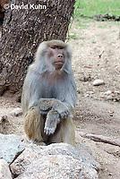 0719-1101  Female Hamadryas Baboon, Papio hamadryas  © David Kuhn/Dwight Kuhn Photography.