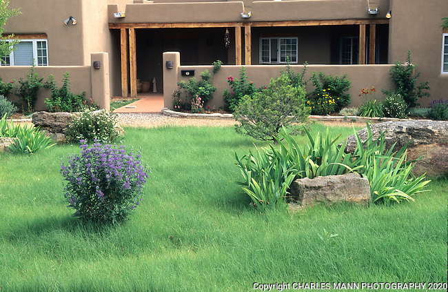 A lawn of Blue gramma, Bouteloua gracilis, creates an attractive and water saving alternative to a traditional lawn of  blue grass in the Santa Fe landscape.
