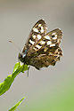 Speckled wood butterfly (Pararge aegeria), mid May.