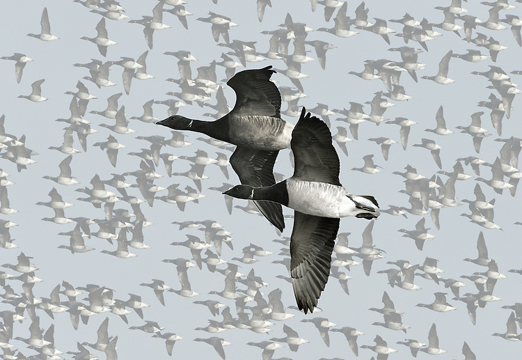 Brent Goose - Branta bernicla - pale-bellied race and dark-bellied race. L 56-61cm. Our smallest goose – similar size to Shelduck. Subtle plumage patterns allow separation of two subspecies that winter here: Pale-bellied Brent B.b.hrota (breeds on Svalbard and Greenland) and Dark-bellied Brent B.b.bernicla (breeds in Russia). Seen in sizeable and noisy flocks. In flight, looks dark except for white rear end. All birds have a black bill and black legs. Sexes are similar. Adult Pale-bellied has blackish head, neck and breast; side of neck has narrow band of white feathers. Note neat division between dark breast and pale grey-buff belly. Back is uniform dark brownish grey. Adult Dark-bellied is similar but belly is darker and flanks are paler. Juveniles are similar to respective adults but note pale feather margins on back and absence of white markings on side of neck; white on neck is acquired in New Year. Voice Very vocal, uttering a nasal krrrut. Status Winter visitor to coasts.