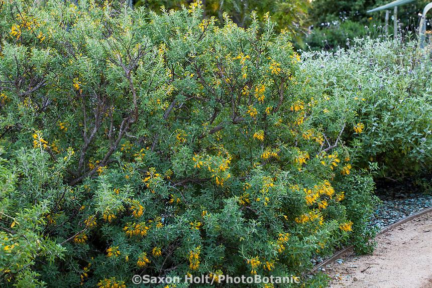 Peritoma arborea (syn. Isomeris arborea),  California Cleome or Burrofat, California native shrub flowering in Arlington Garden, Pasadena
