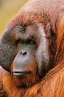 Male Orangutan (Pongo pygmaeus)