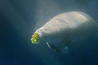 West African Manatee, Trichechus senegalensis, feeding on lettuce, highly endangered (c)