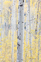 Aspens, Independence Pass road near Aspen