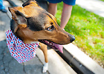 Zeda the dog wears red white and blue to the annual Wantagh Independence Day Parade held Wednesday, July 4, 2012.