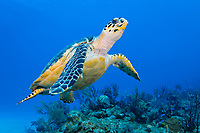 Hawksbill turtle, Eretmochelys imbricata, Bahamas, Caribbean, Atlantic