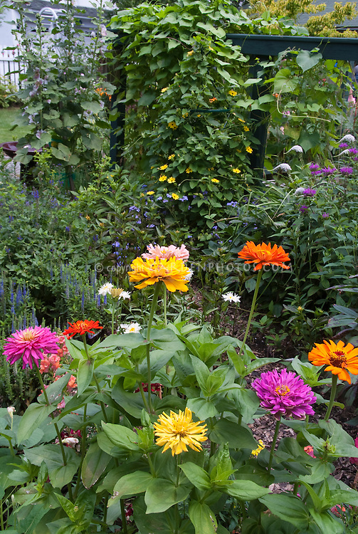 Gentil Zinnias In The Flower Garden, With Thunbergia Vine, Salvia, Monarda,  Lysimachia,