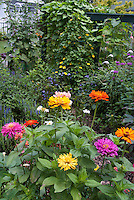 Zinnias in the flower garden, with Thunbergia vine, Salvia, Monarda, Lysimachia, hollyhock Alcea, white house and fence in backyard gardening of annuals and perennials plants growing together in summer bloom