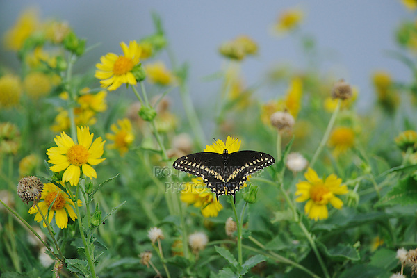 Black Swallowtail (Papilio polyxenes), adult feeding on Huisache-Daisy (Amblyolepis setigera), Sinton, Corpus Christi, Coastal Bend, Texas Coast, USA