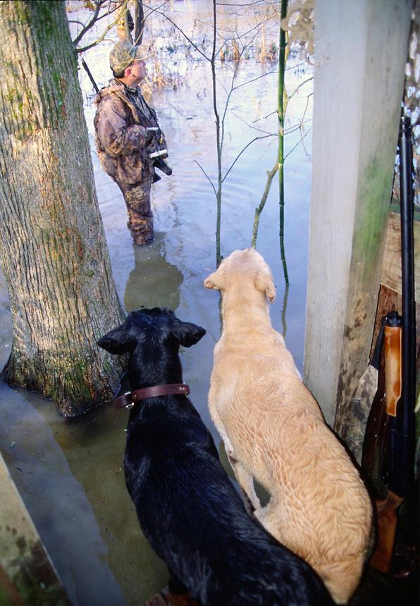 Labrador retrievers on duck hunt in Cross County, Arkansas