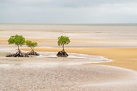 Mangrove trees at low tide near Port Douglas Australia.