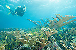 Gardens of the Queen, Cuba; a scuba diver swimming over a colony of Elkhorn Coral in shallow water