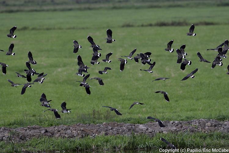 Northern Lapwing flock in flight, Vanellus vanellus, Welney WWT Reserve, Norfolk, waders, flying