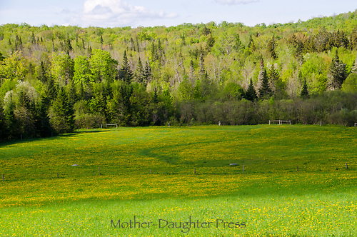 Field of Dandilions near Peacham Vermont, Macs Mountain Road, USA