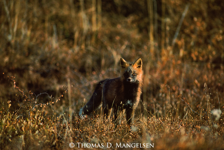 Portrait of a cross fox in Denali National Park.
