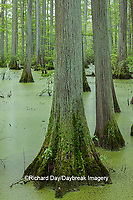63895-14609 Bald Cypress trees (Taxodium distichum) Heron Pond Little Black Slough, Johnson Co. IL