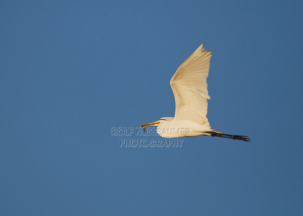Snowy Egret (Egretta thula), adult in flight with fish prey, Sinton, Corpus Christi, Coastal Bend, Texas, USA