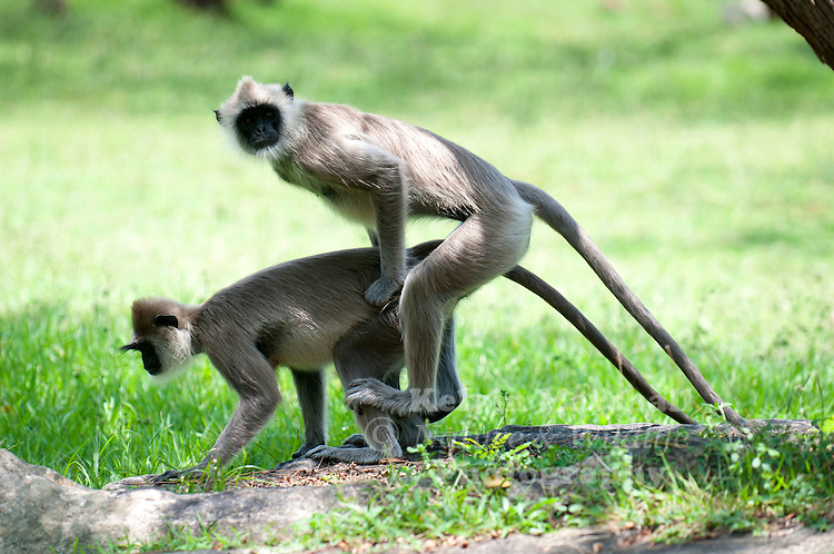 Gray langurs (Semnopithecus priam) - or Hanuman langurs, the most widespread langurs of South Asia, are a group of Old World monkeys constituting the entirety of the genus Semnopithecus. Bundala National Park - Sri Lanka.
