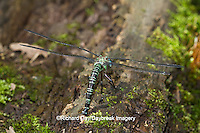 06370-00204 Swamp Darner (Epiaeschna heros) female ovipositing laying eggs on log in water, Marion Co., IL