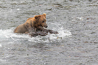Brown bear fishes for red salmon in the Brooks River in Katmai National Park, Alaska