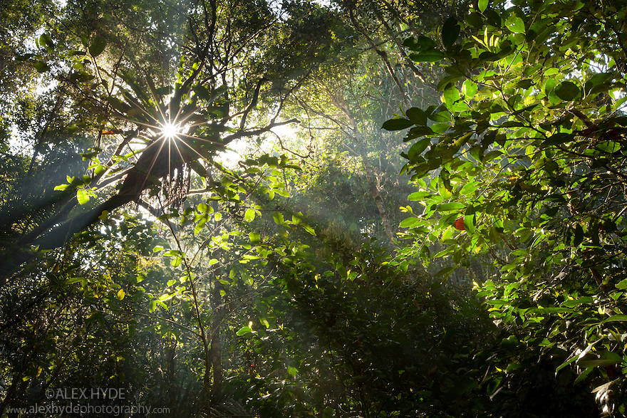Early morning sun creating sunbeams through the humid rainforest canopy Andasibe-Mantadia National Park & Sunbeams cutting through rainforest canopy Andasibe-Mantadia ...