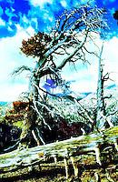 GALENA PEAK ANCIENT LIMBER PINES, SAN GORGONIO WILDERNESS