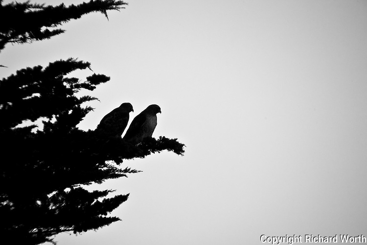 Two hawks perched high in a tree survey a field next to Highway 1 along California's coast south of San Francisco.