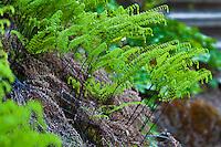 Five-Fingered Fern or Western maidenhair fern, Adiantum aleuticum emerging in spring in California native plant garden, Tilden, East Bay Regional Park