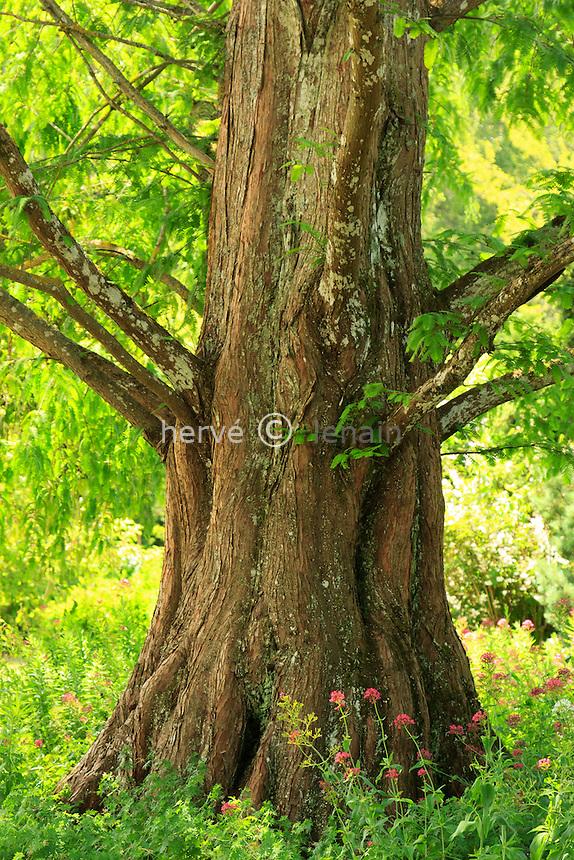 Séquoïa de Chine (Metasequoia glyptostroboides), base du tronc au parc floral de la Source // trunk of dawn redwood (Metasequoia glyptostroboides)