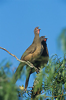 Plain Chachalaca, Ortalis vetula,pair calling on Mesquite tree, The Inn at Chachalaca Bend, Cameron County, Rio Grande Valley, Texas, USA