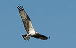 Osprey.Pandion haliaetus.in flight with a fish at the Sepulveda Wildlife Area.Los Angeles, Ca. October 8, 2010. © Fitzroy Barrett