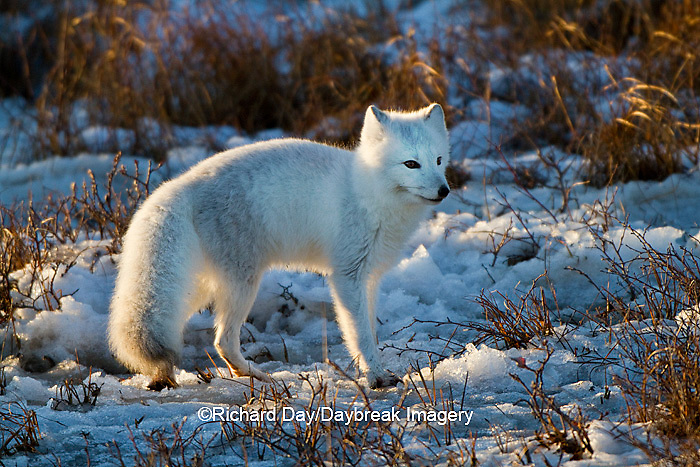 01863-01218 Arctic Fox (Alopex lagopus) in snow in winter, Churchill Wildlife Management Area, Churchill, MB Canada