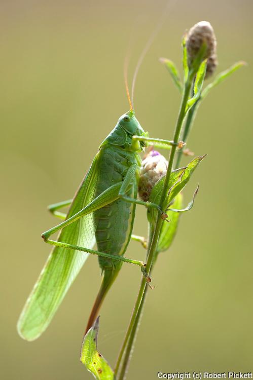 Great Green Bush Cricket, Tettigonia viridissima, female, Brasov-Buzau, Romania, on stem, backlight by sunshine