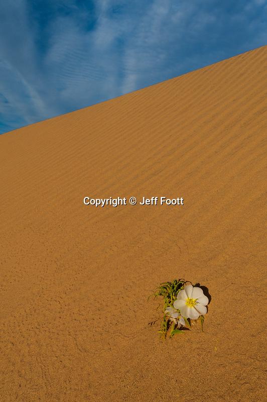 Mojave Desert sand  dune, with wind ripples and  Dune Primrose (Oenothera deltoides).