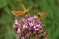 Small and Essex Skippers - Thymelicus lineola-Thymelicus sylvestris